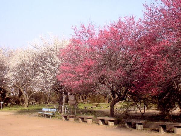 梅まつり時期の梅林の様子